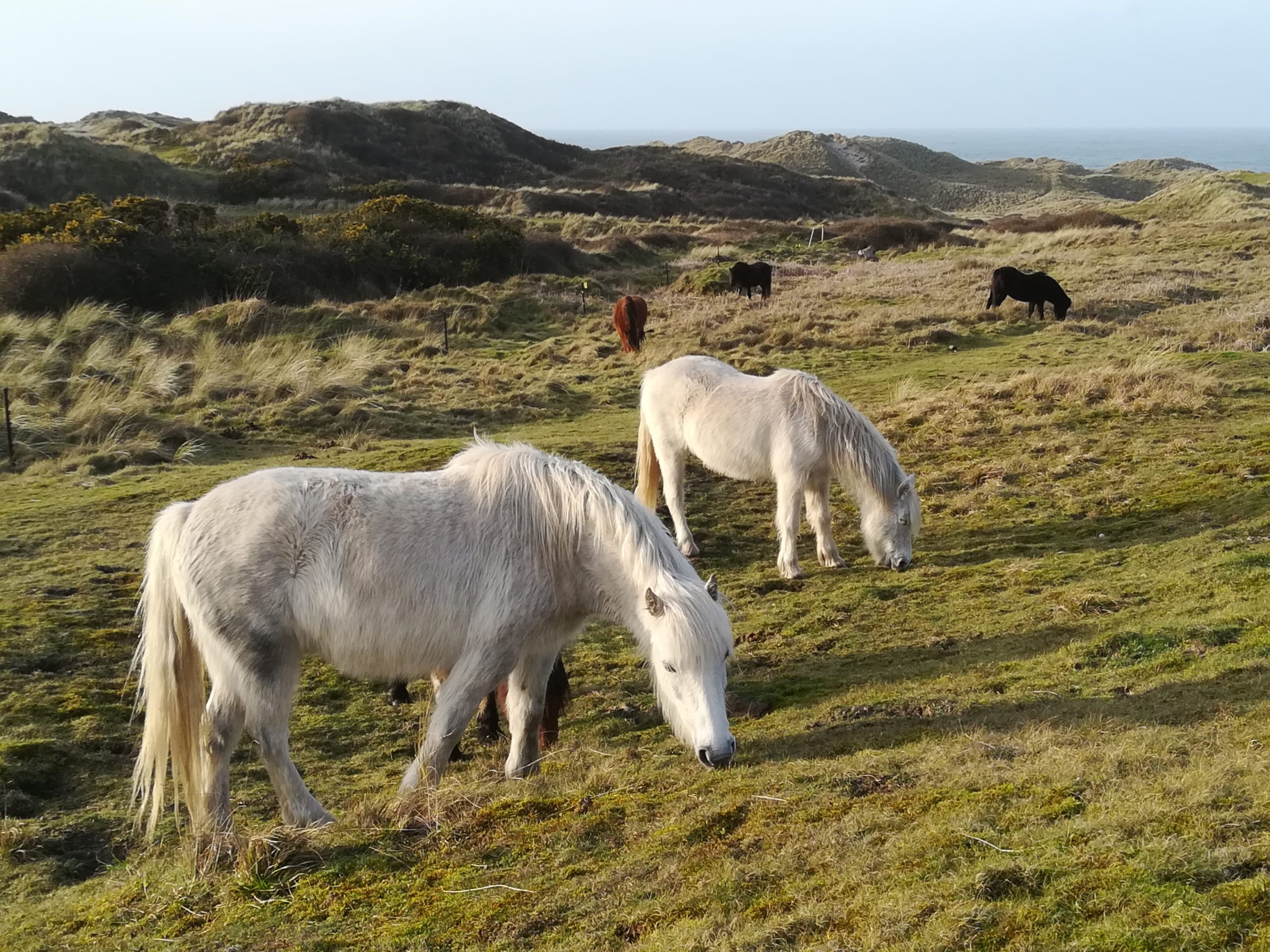 Horses at Upton Towans