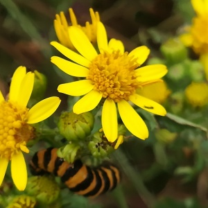 Cinnabar moth caterpillar with ragwort